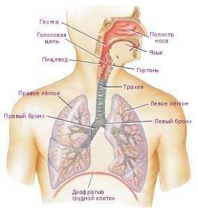 Строение дыхательной системы человека - фото