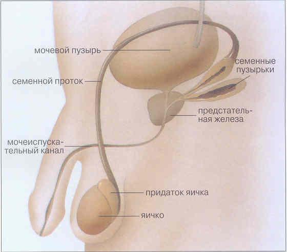 лекарство от простатита народная медицина