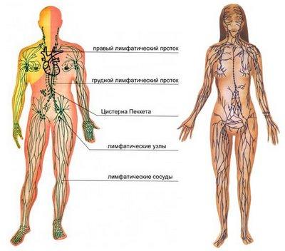 Лимфатическая система человека – строение и заболевания
