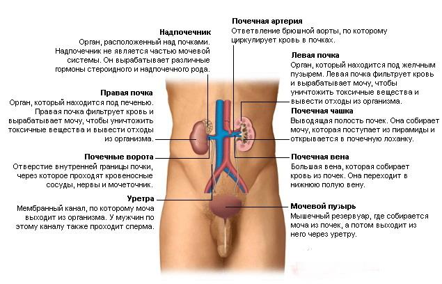Мочевыделительная система человека фото
