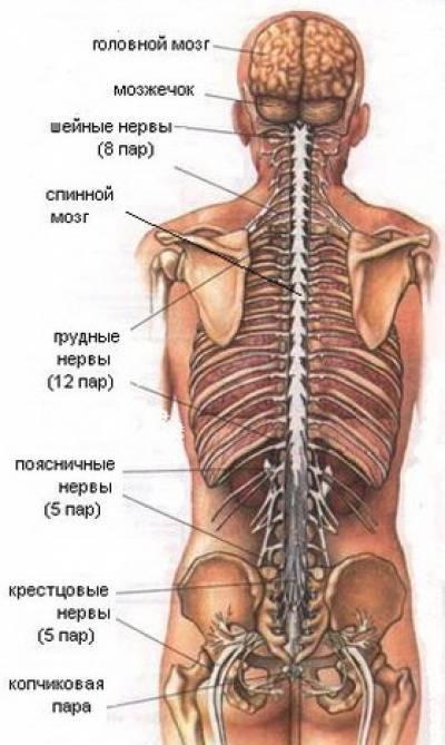 Центральная нервная система - фото