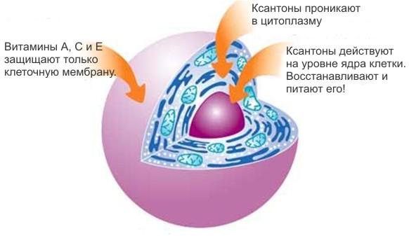 Ксантоны проникают в самое ядро