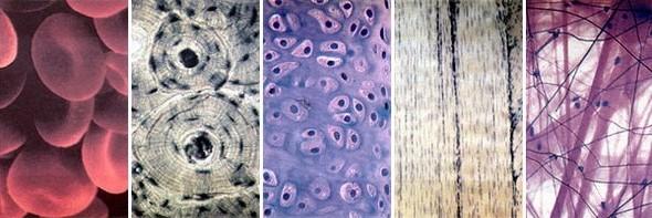 Фото виды соединительной ткани
